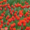 Tulipan Worlds favourite 2
