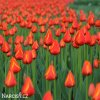 cerveny tulipan worlds favourite 6