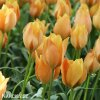 oranzovy tulipan batalinii bright gem 2