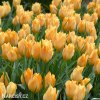 oranzovy tulipan batalinii bright gem 3