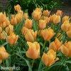 oranzovy tulipan batalinii bright gem 5