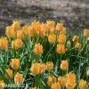 oranzovy tulipan batalinii bright gem 6