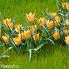 oranzovy tulipan batalinii bright gem 7