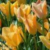 oranzovy tulipan batalinii bright gem 8