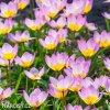Tulipán Bakeri lilac Wonder 5