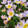 ruzovozluty tulipan bakeri lilac wonder 6