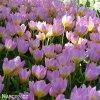 ruzovozluty tulipan bakeri lilac wonder 7