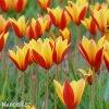 zlutocerveny tulipan clusiana chrysantha 6