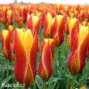 zlutocerveny tulipan clusiana chrysantha 7