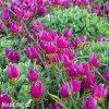 Fialovy nizky tulipan Eastern star pulchella 2