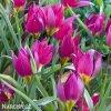 Fialovy nizky tulipan Eastern star pulchella 3