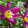 Fialovy nizky tulipan Eastern star pulchella 4