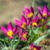 Fialovy nizky tulipan Eastern star pulchella 5