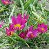 Fialovy nizky tulipan Eastern star pulchella 7