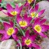Tulipan Eastern star pulchella 1