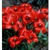 Tulipan Linifolia 3