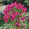ruzovy nizky tulipan little beauty 2