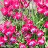 ruzovy nizky tulipan little beauty 3