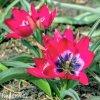 ruzovy nizky tulipan little beauty 5