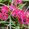 ruzovy nizky tulipan little beauty 7