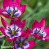 ruzovy nizky tulipan little beauty 1