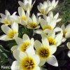 Tulipán Mix botanických tulipánů 3