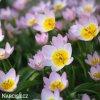 ruzovozluty tulipan saxatilis 2