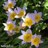ruzovozluty tulipan saxatilis 4