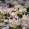 ruzovozluty tulipan saxatilis 5