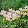 ruzovozluty tulipan saxatilis 6