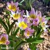ruzovozluty tulipan saxatilis 8