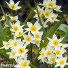 bily nizky tulipan turkestanica 2