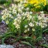 bily nizky tulipan turkestanica 3