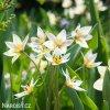 bily nizky tulipan turkestanica 5