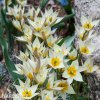 bily nizky tulipan turkestanica 6