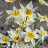 bily nizky tulipan turkestanica 7