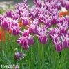 bilofialovy tulipan ballade 3