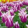 bilofialovy tulipan ballade 5