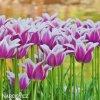 bilofialovy tulipan ballade 8