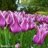 bilofialovy tulipan ballade 9