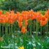 oranzovy tulipan ballerina 7
