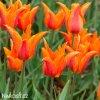 oranzovy tulipan ballerina 9