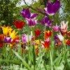 tulipany liliokvete smes barev mix 2