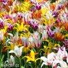 tulipany liliokvete smes barev mix 3