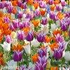 tulipany liliokvete smes barev mix 4