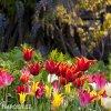 tulipany liliokvete smes barev mix 5