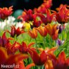 tulipany liliokvete smes barev mix 6