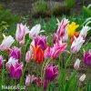 tulipany liliokvete smes barev mix 7