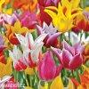 tulipany liliokvete smes barev mix 1