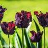 Tulipan Black parrot 5